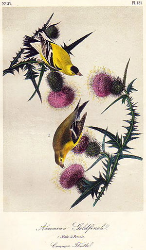 Goldfinch Breeding