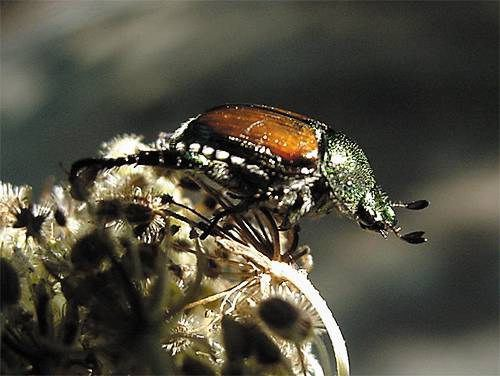 how to kill carpet beetles in car