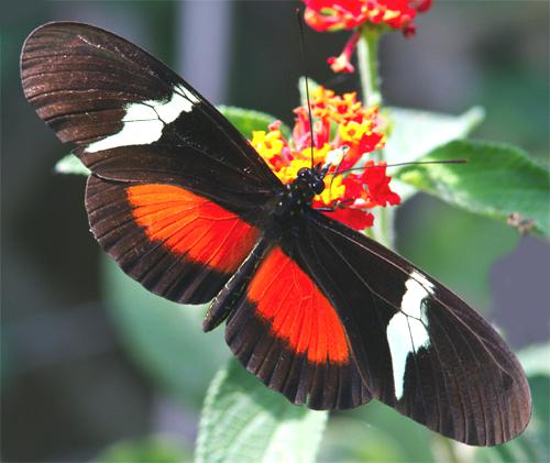 Red Butterfly Meaning