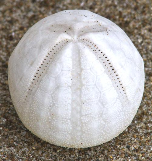 White sea urchin shell - photo#3
