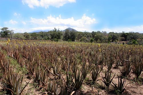 The Road We Could See That Many Aloe Vera Plants Were Producing Single Or Branched Four Foot Stalks Festooned With Dozens Of Tubular Yellow Flowers