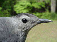 Nature: Gray Catbird