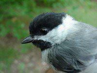Nature: Carolina Chickadee