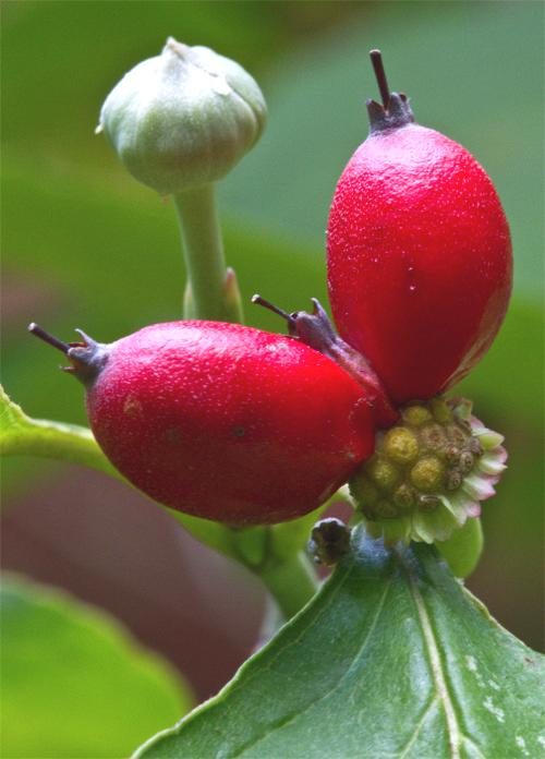 Image result for serendipity berry