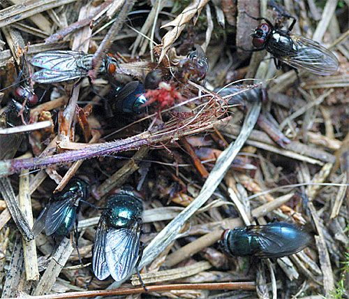 Carrion Beetles Phoretic Mites Masters Of Animal Decomposition