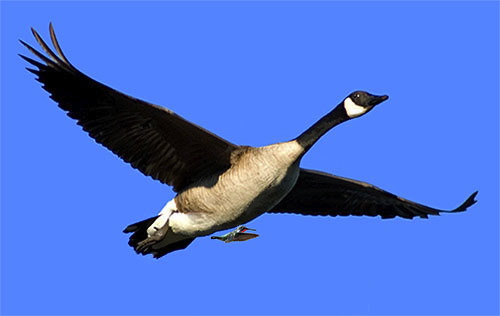 Do hummingbirds hitch a ride on geese