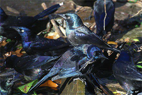 common grackle female. pictures Female+common+grackle