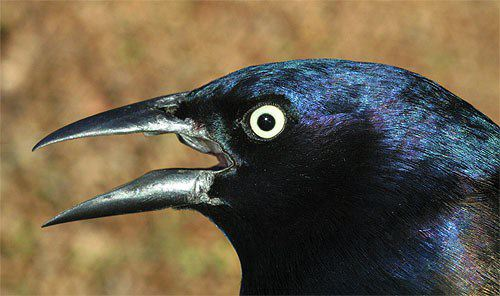 common grackle female. Our aberrant Common Grackle