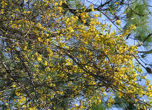 Carolina jessamine gelsemium sempervirens south carolinas state a similar looking species rankins yellow jessamine g rankinii is found in lowcountry swamps of the carolinas georgia and florida however mightylinksfo