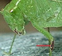 Bush Katydid female (ear)