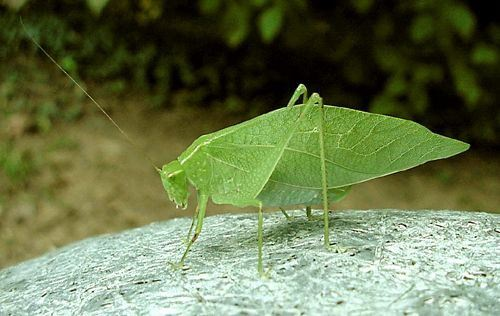 Bush Katydid female