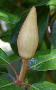 Fairest Flower Of The South Southern Magnolia Magnolia Grandiflora