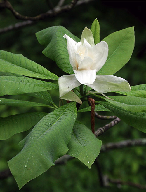 Flower 4 Produced On A Tall Understory Tree With Foot Long Deciduous Leaves This Large White In West Virginia S Fayette County Reminds Of Us Its