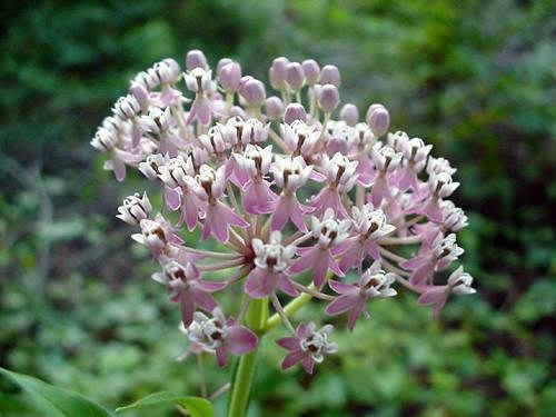 Swamp Milkweed (Ascelpias incarnata), flower head