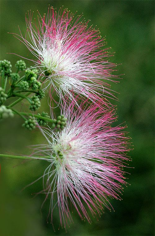 Mimosa: An (Un)Welcome Visitor, Albizia julibrissin