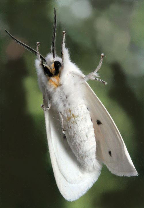 Year Of The Moth Agreeable Tiger Moth Spilosoma Congrua