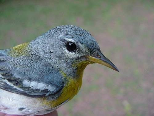 northern parula (female)