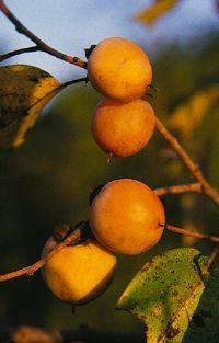 Common Persimmon (Diospyros virginiana) fruit