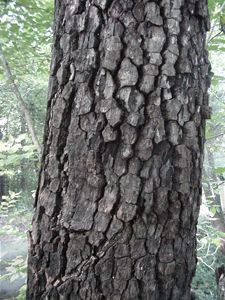 Common Persimmon (Diospyros virginiana) bark
