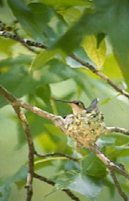 Ruby-throated Hummingbird, Archilochus colubris, female on nest