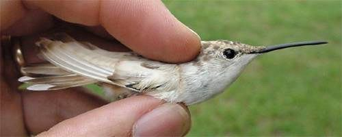 Leucistic female Ruby-throated Hummingbird