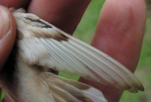 Wing of leucistic female Ruby-throated Hummingbird