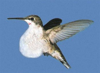 ruby throated hummingbirds essay