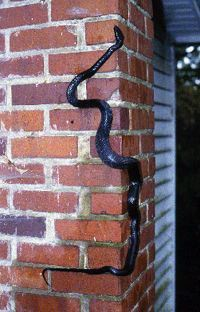 Black ratsnake, Elaphe obsoleta, adult