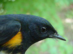 American redstart, adult male