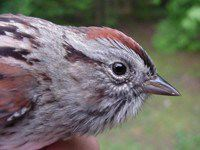 Nature: Swamp Sparrow