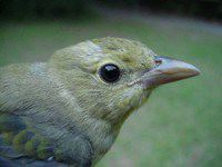 Scarlet Tanager (juvenile female)