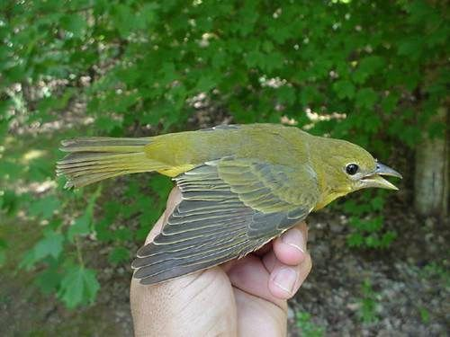 Juvenile summer tanager - photo#20