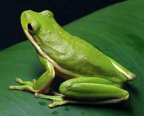 The Green Treefrog is the state amphibian