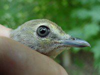 White-eyed Vireo fledgling