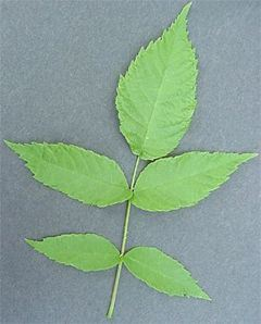 Black Walnut, Juglans nigra, immature leaf