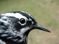 Black-and-white Warbler, male