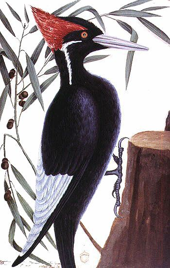 what was most interesting however was how many people contacted us with news they had seen ivory billed woodpeckers in their own suburban backyards